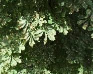 Желтеющие каштаны в Туле, Фото: 3