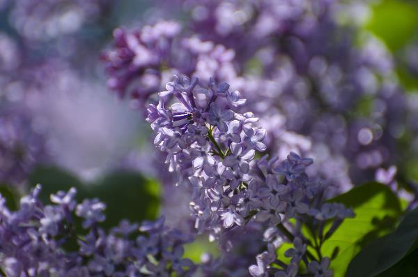 Сирень цветет. Май 2019г