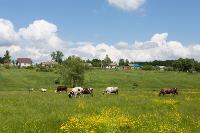 Коровы, свиньи и горы навоза в деревне Кукуй: Роспотреб требует запрета деятельности токсичной фермы, Фото: 30