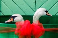 Запуск лебедей в верхний пруд Центрального парка Тулы, Фото: 10
