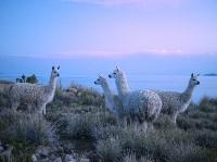 Ламы на озере Титикака в Перу. Christian Heeb, laif/Redux, Фото: 26