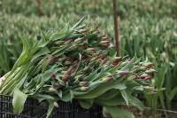 Тюльпаны , Фото: 39