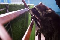 Тульское Шоу ручных енотов: «Из-за карантина нам нужна помощь туляков», Фото: 24