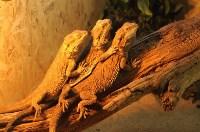 Бородатая агама, Фото: 10
