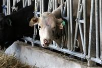 Счастливые коровы, Фото: 4