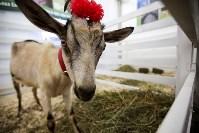 Выставка коз в Туле, Фото: 3