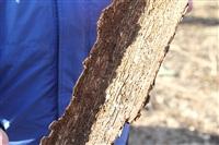 Жуки-короеды напали на деревья в Горелках, Фото: 2