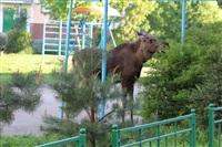 Лось во дворе дома №45 по ул. Плеханова, Фото: 29