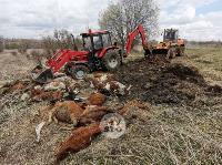 Чернский район, умерли 150 коров, Фото: 5