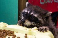 Тульское Шоу ручных енотов: «Из-за карантина нам нужна помощь туляков», Фото: 18