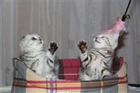 В Туле прошла международная выставка кошек, Фото: 65