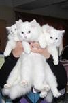 В Туле прошла международная выставка кошек, Фото: 59