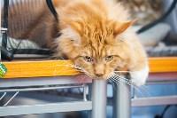 Международная выставка кошек. 16-17 апреля 2016 года, Фото: 64