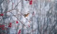 Дрозды-рябинники в Туле, Фото: 46