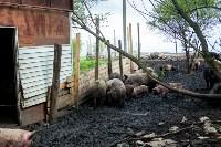 Свиньи в Плавске, Фото: 6