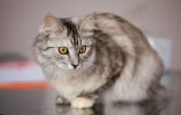 Выставка кошек. 4 и 5 апреля 2015 года в ГКЗ., Фото: 46
