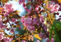 Тульская сакура зацвела в Керчи, Фото: 3