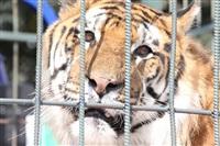 Тигры в городе!, Фото: 12