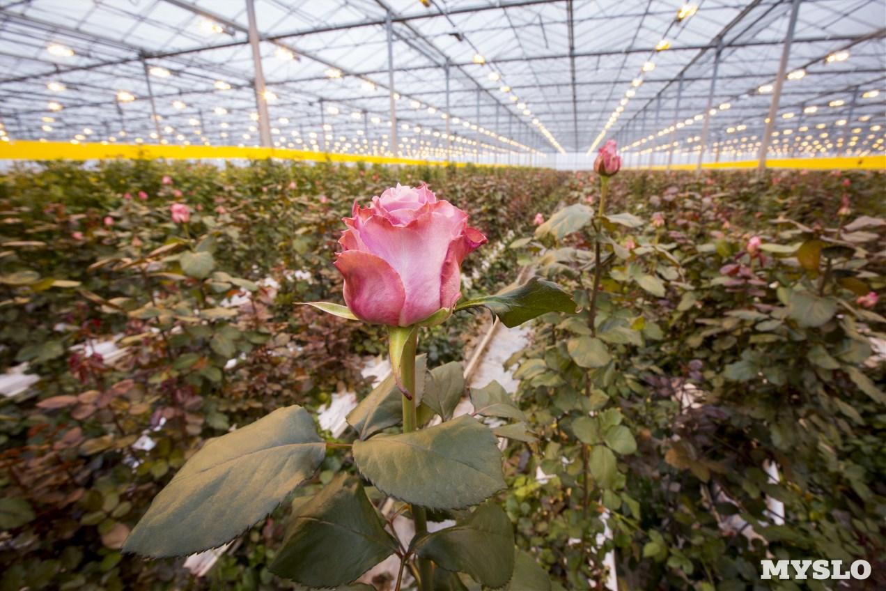 как растет роза фото матроны выздоровлении