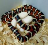 Кладки ужеобразных змей, 05.05.2016, Фото: 2