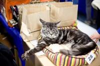 Выставка кошек. 4 и 5 апреля 2015 года в ГКЗ., Фото: 83