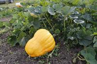 Гигантские тыквы из урожая семьи Колтыковых, Фото: 8