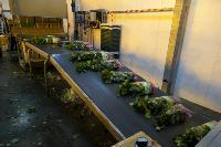 Миллион разных роз: как устроена цветочная теплица, Фото: 55