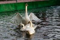 Запуск лебедей в верхний пруд Центрального парка Тулы, Фото: 29