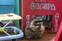 Тульское Шоу ручных енотов: «Из-за карантина нам нужна помощь туляков», Фото: 5