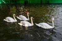 Запуск лебедей в верхний пруд Центрального парка Тулы, Фото: 25