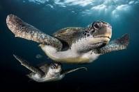 Портрет: «Зелёные черепахи в лучах света». Фото Greg Lecoeur, UPY 2017, Фото: 20