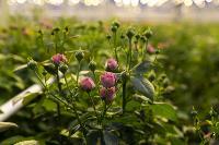 Миллион разных роз: как устроена цветочная теплица, Фото: 14