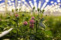 Миллион разных роз: как устроена цветочная теплица, Фото: 15