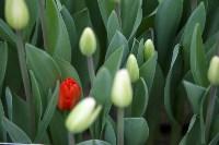 Тюльпаны , Фото: 10