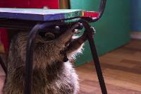 Тульское Шоу ручных енотов: «Из-за карантина нам нужна помощь туляков», Фото: 48