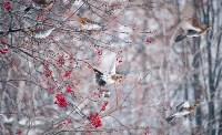 Дрозды-рябинники в Туле, Фото: 23