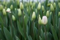 Тюльпаны , Фото: 8