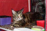 В Туле прошла международная выставка кошек, Фото: 12