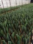 Тюльпаны , Фото: 51