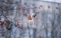 Дрозды-рябинники в Туле, Фото: 39