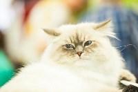 """Выставка """"Пряничные кошки"""". 15-16 августа 2015 года., Фото: 64"""