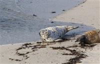Жизнь тюленя: мечта!, Фото: 2