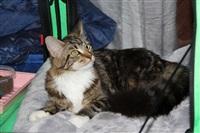 В Туле прошла международная выставка кошек, Фото: 24