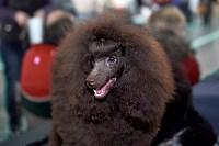 Выставка собак в Туле 26.01, Фото: 8