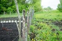 Свиньи в Плавске, Фото: 1