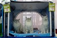 В Туле прошла международная выставка кошек «Зимнее конфетти», Фото: 2
