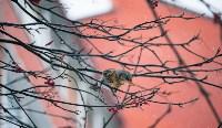 Дрозды-рябинники в Туле, Фото: 18