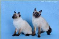 Кошки породы Скиф-той-боб, Фото: 2