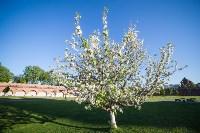 Яблони у кремля, Фото: 12