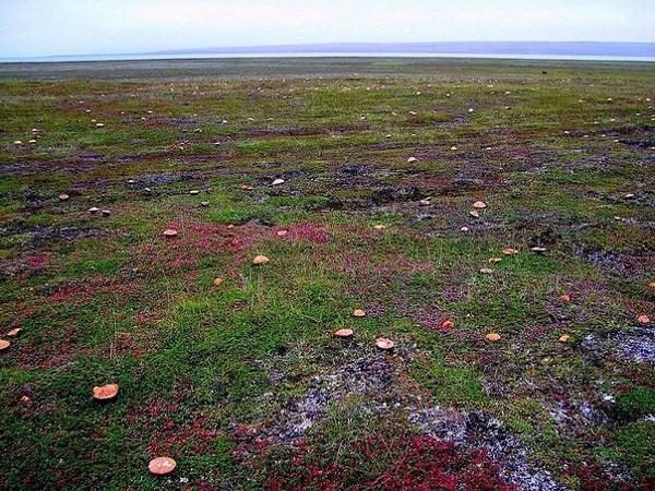 Вот так растут грибы в тундре